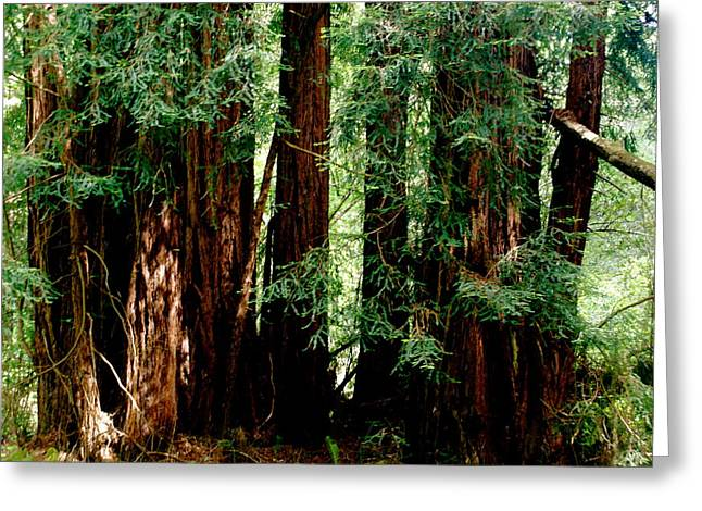 California Redwoods Greeting Card by Sonja Anderson