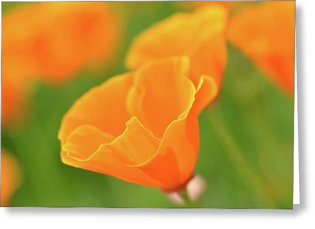 California Spring Poppy Macro Close Up Greeting Card