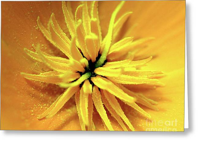 Californian Poppy Macro Greeting Card