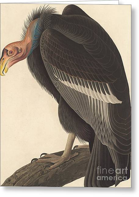 Californian Vulture Greeting Card