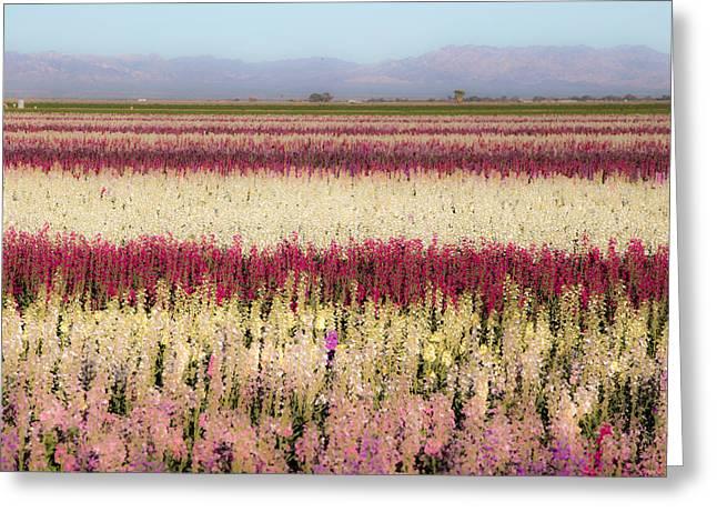 Calipatria Flower Fields Greeting Card