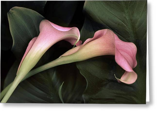 Calla Caress  Greeting Card by Jessica Jenney