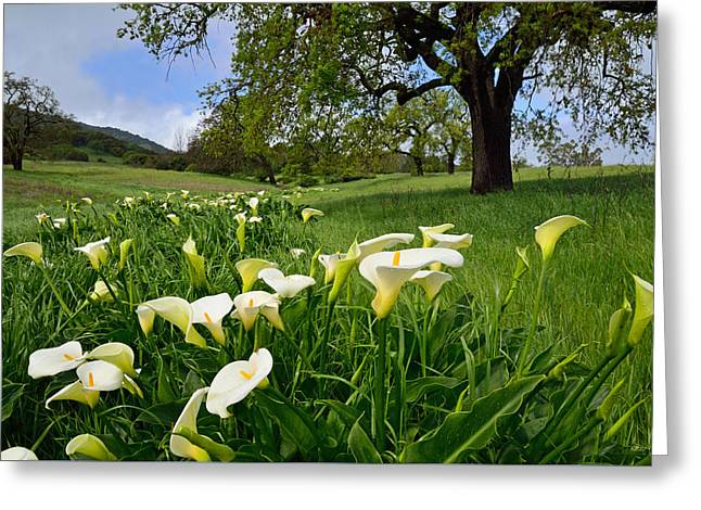 Calla Lilies And The Oak Greeting Card by Kathy Yates