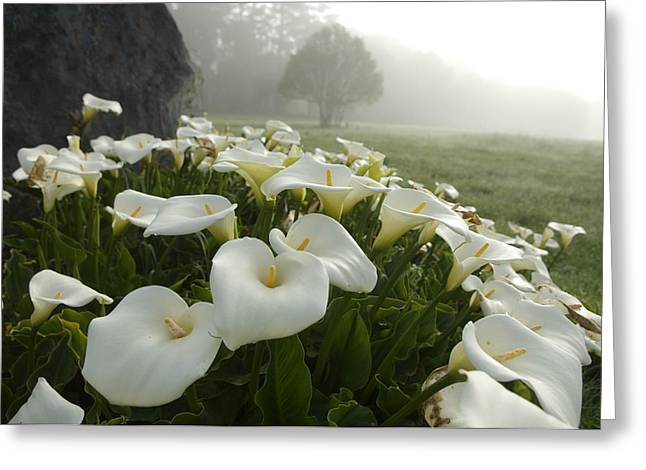 Sonoma County Greeting Cards - Calla Lilies Zantedeschia Aethiopica Greeting Card by Keenpress
