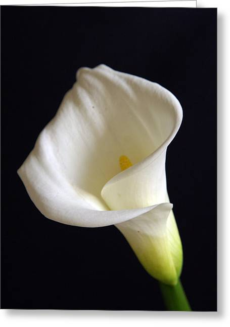 Calla Lilly 7 Greeting Card by Gary Brandes