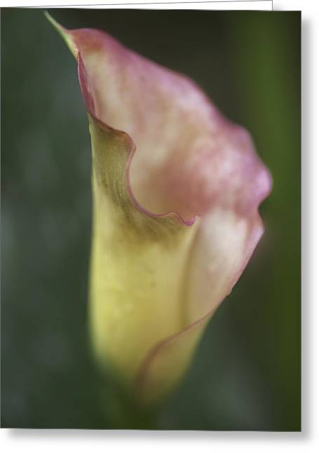 Greeting Card featuring the photograph Calla Lily by Jacqui Boonstra