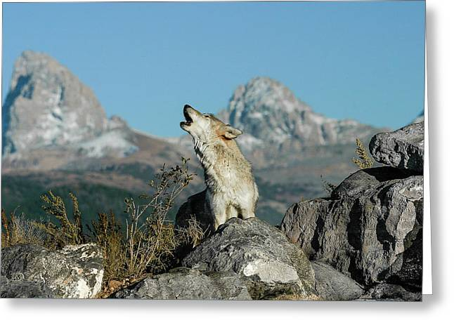 Calling All Wolves Greeting Card