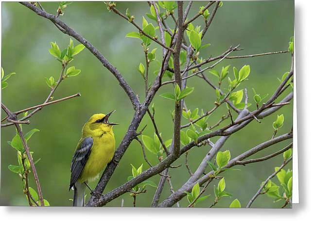 Calling Blue Winged Warbler Square Greeting Card by Bill Wakeley