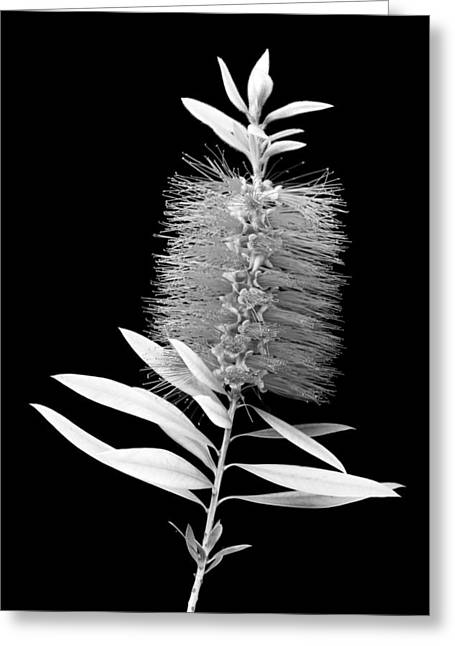 Callistemon Beauty 3 Greeting Card by Kelley King