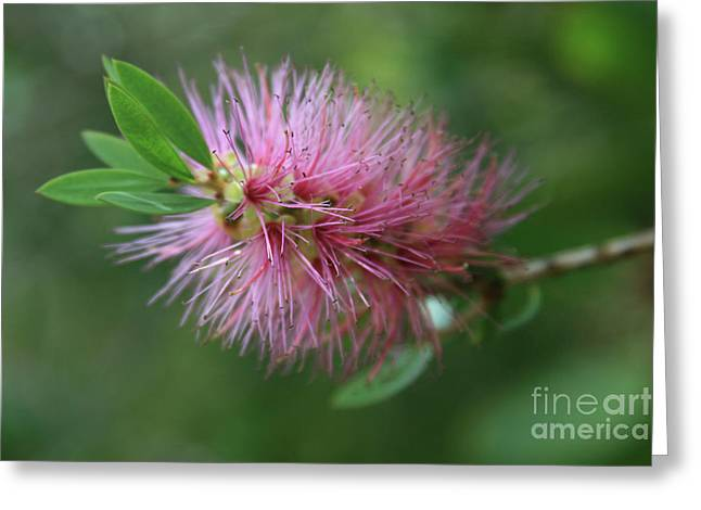 Weeping Greeting Cards - Callistemon viminalis Taree Pink Weeping Bottlebrush Flowering Trees of Hawaii Greeting Card by Sharon Mau