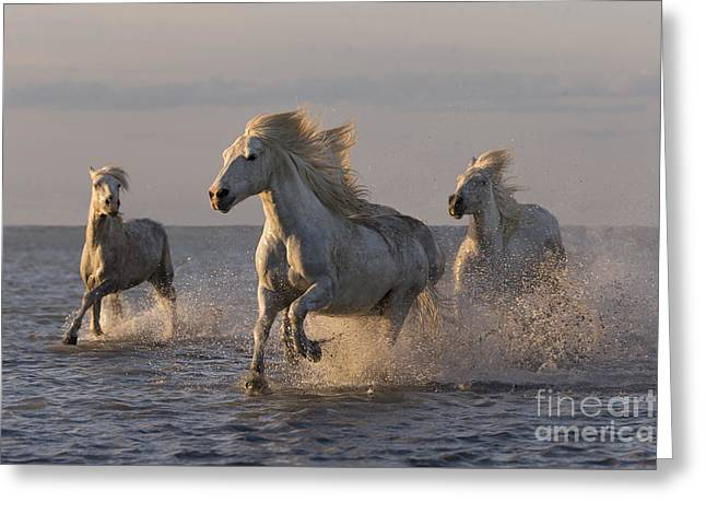 Camargue Horses Run At Sunset Greeting Card by Carol Walker