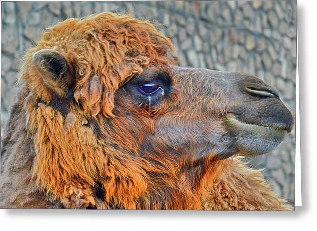 Camel. Greeting Card