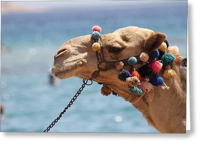 Camel By The Sea Greeting Card by Tawfik W Dajani