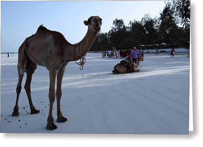 Camel On Beach Kenya Wedding 6 Greeting Card