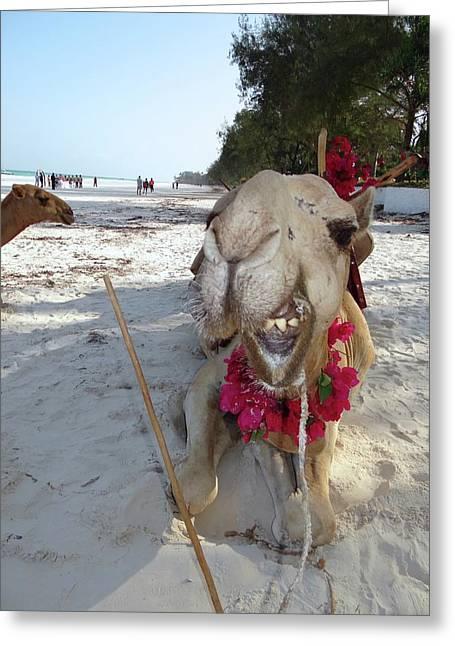 Camel On Beach Kenya Wedding2 Greeting Card