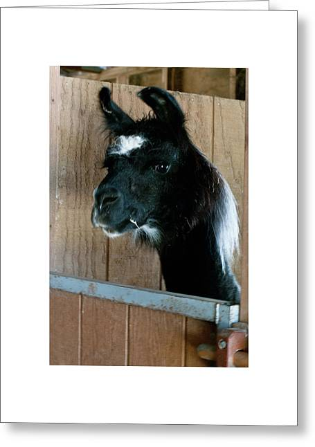 Greeting Card featuring the photograph Camelid 3 by Catherine Sobredo