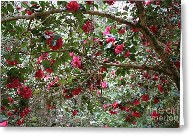 Camellia Branches Greeting Card by Carol Groenen