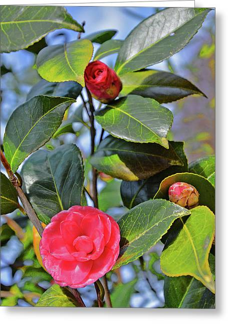 Camellia Japonica. Greeting Card
