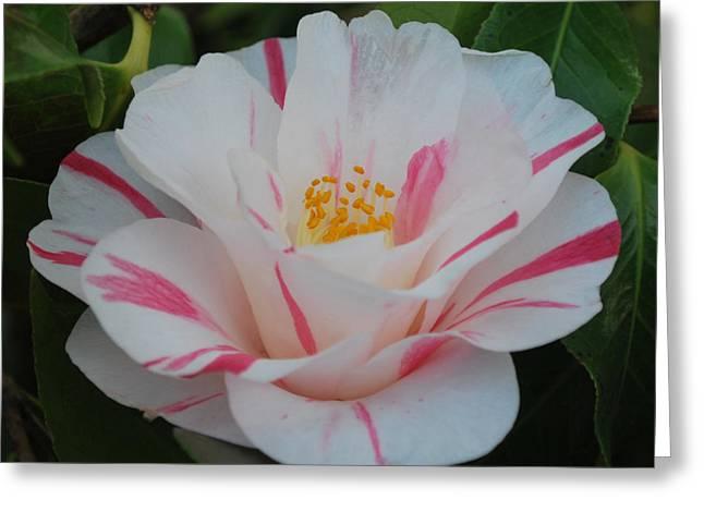 Camellia Greeting Card by Linda Sramek