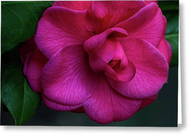 Camellia Passion Greeting Card