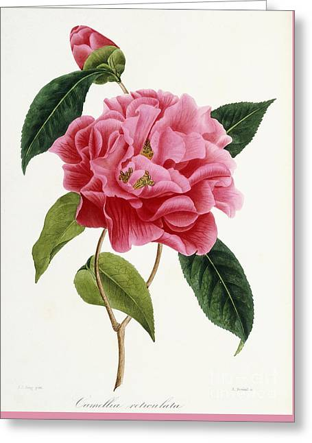 Camellia Reticulata Greeting Card by French School