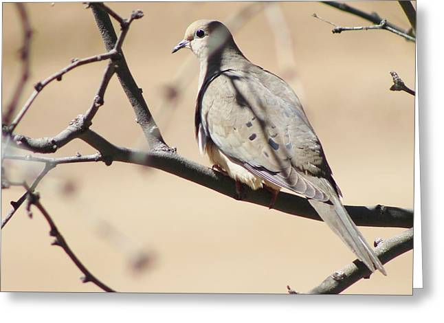 Camouflaged Mourning Dove Greeting Card