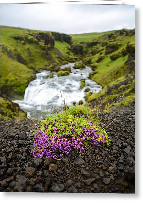 Campion On The Fimmvorduhals Greeting Card