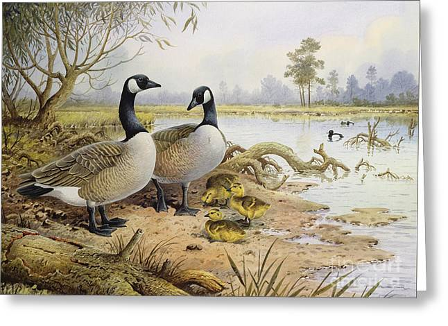 Canada Geese Greeting Card by Carl Donner