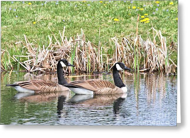 Canada Geese Greeting Card by Debbie Stahre