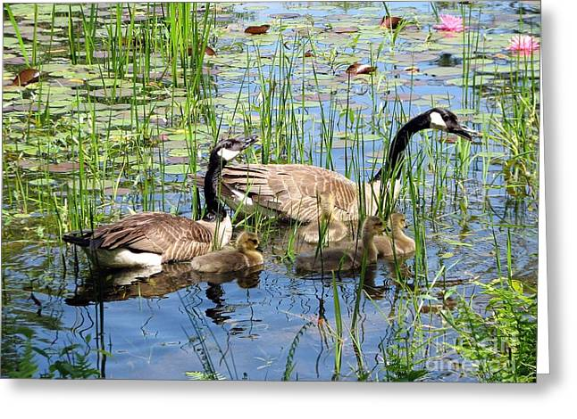 Canada Geese Family On Lily Pond Greeting Card
