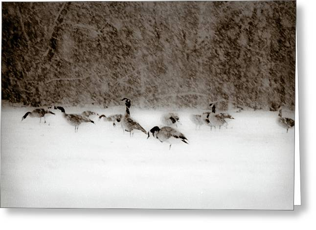 Canada Geese Feeding In Winter Greeting Card