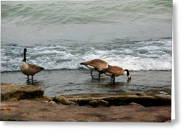 Greeting Card featuring the photograph Canada Geese Feeding by Kathleen Stephens