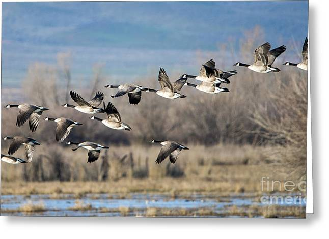 Canada  Geese Flock Greeting Card by Mike Dawson