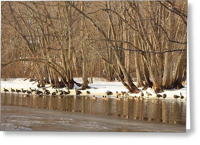 Canada Geese On Concord River Greeting Card by John Burk