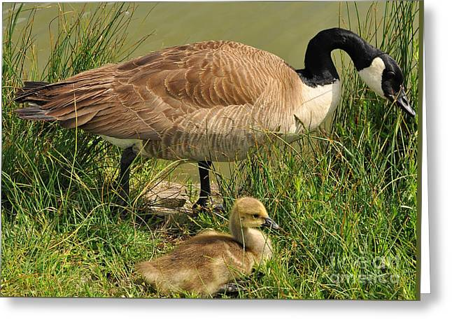Canada Geese Parent And Child  Greeting Card by Merrimon Crawford