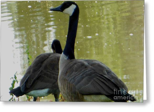 Canada Goose Edge Of Pond Greeting Card