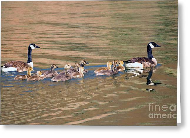 Canada Goose Family Greeting Card