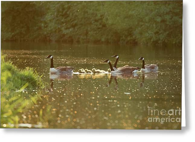 Canada Goose Geese Family - Branta Canadensis - With Goslings On A Greeting Card
