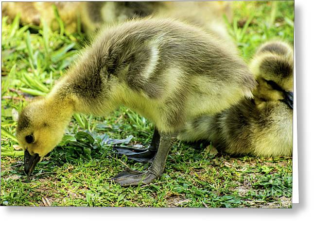 Canada Goose Gosling Greeting Card by Gary Whitton