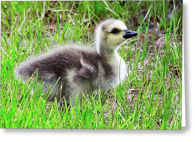 Canada Goose Gosling Greeting Card
