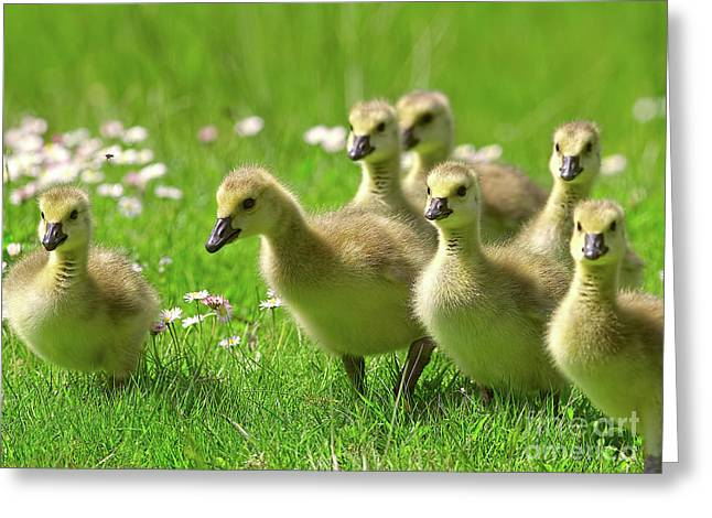 Greeting Card featuring the photograph Canada Goose Goslings by Sharon Talson