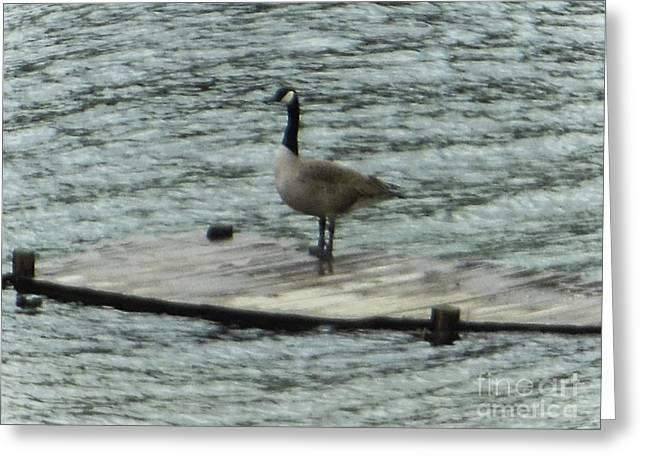 Canada Goose Lake Dock Greeting Card