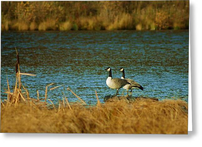 Canada Goose Greeting Card by Mario Brenes Simon