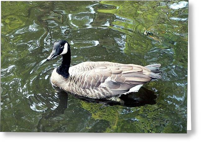 Canada Goose Pose Greeting Card by Al Powell Photography USA