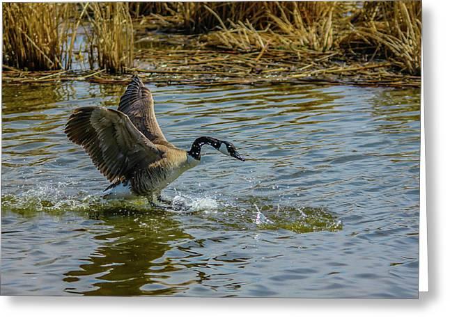 Canada Goose Takes Flight, Frank Lake, Alberta, Canada Greeting Card