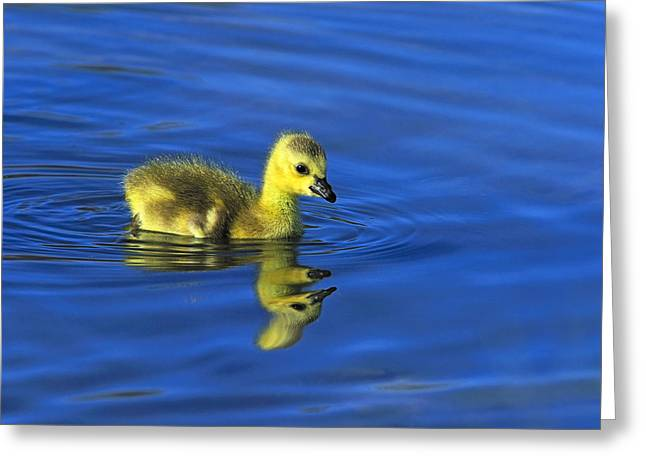 Branta Greeting Cards - Canada Gosling Goes for A Swim Greeting Card by Tony Beck