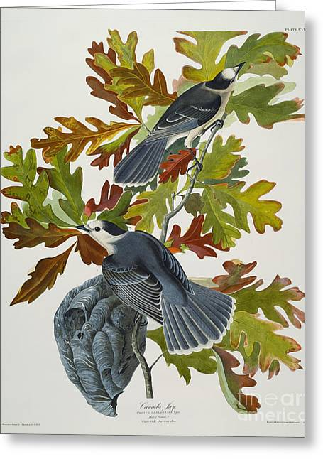 Canada Jay Greeting Card
