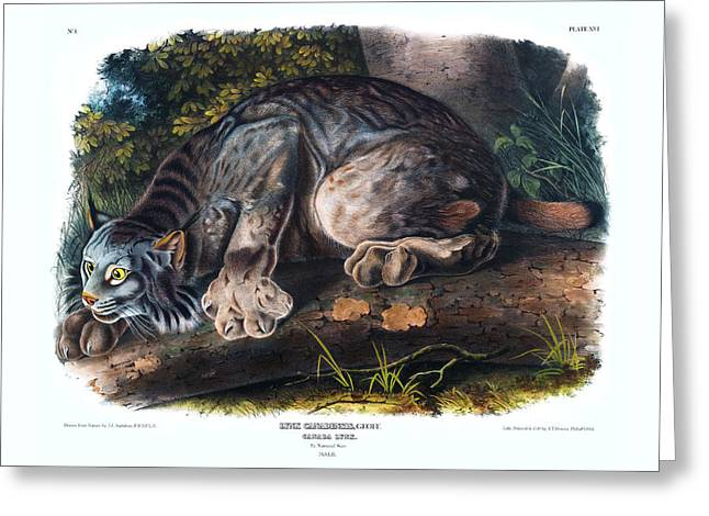 Canada Lynx Antique Print Audubon Quadrupeds Of North America Plate 16 Greeting Card by Orchard Arts