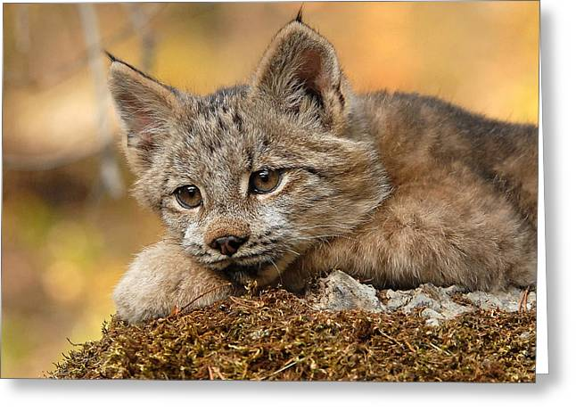 Canada Lynx Kitten 3 Greeting Card by Wade Aiken