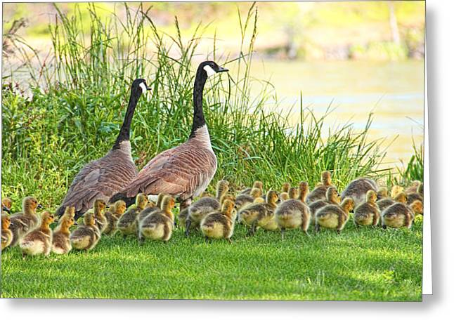 Canadian Geese Family Greeting Card by Jennie Marie Schell